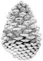 Pinecone technical pen drawing